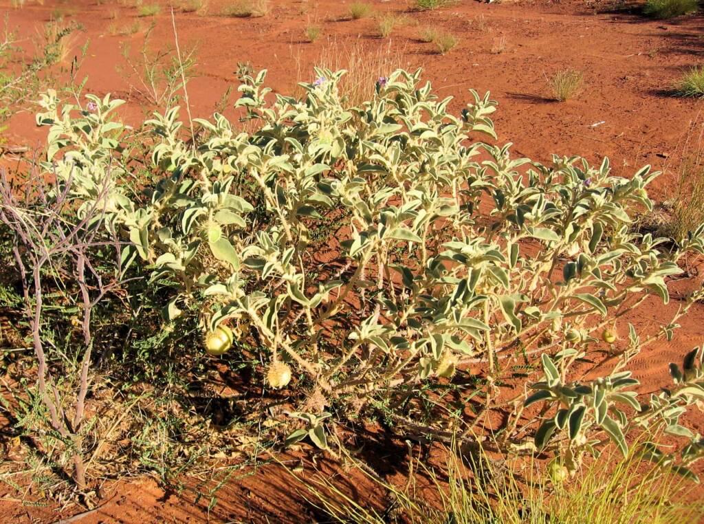 Bush Tomato {Solanum chippendalei) © Tony Bean, Senior Botanist, Queensland Herbarium, Brisbane