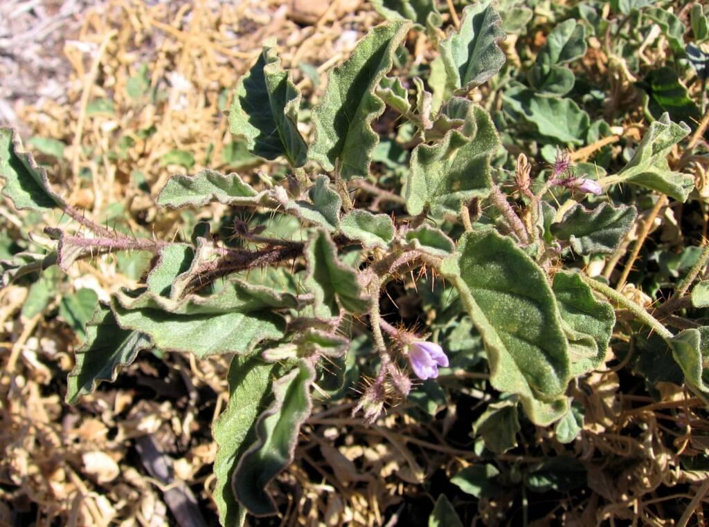 Solanum cleistogamum © Tony Bean, Senior Botanist, Queensland Herbarium, Brisbane