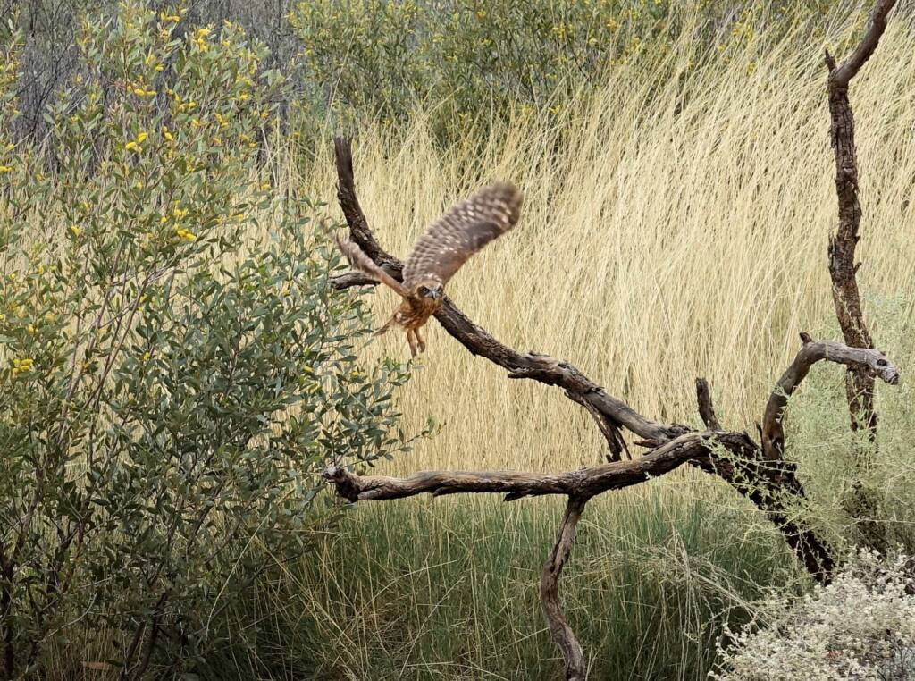 Southern Boobook Owl - Birds of Prey Show, Alice Springs Desert Park