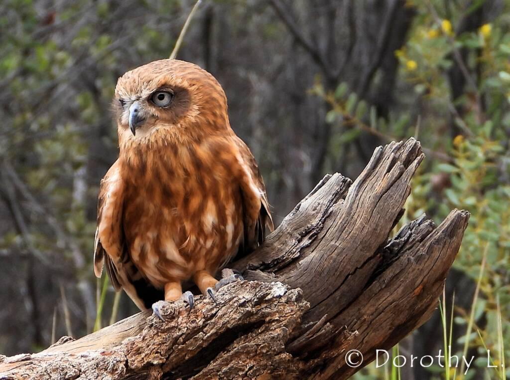 Southern Boobook Owl, Free-flying Birds Show, Alice Springs Desert Park