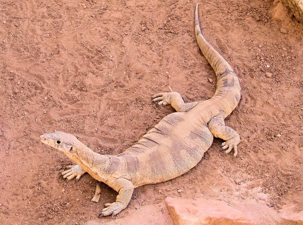 Spencer's Goanna (Varanus spenceri), Alice Springs Reptile Centre