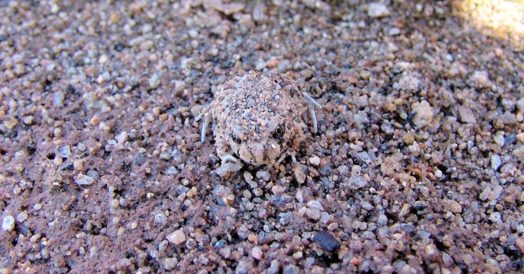 Spencer's Burrowing Frog (Opisthodon spenceri)