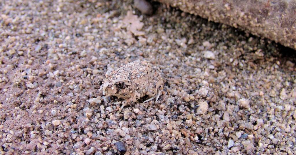 Spencer's Burrowing Frog (Opisthodon spenceri)