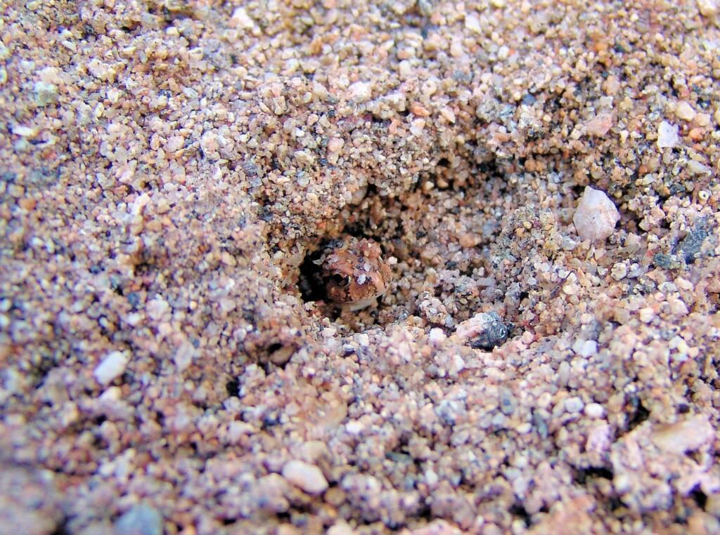Spencer's Burrowing Frog (Opisthodon spenceri), Simpsons Gap