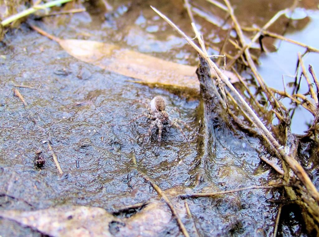 Wolf Spider (Lycosidae sp), Simpsons Gap, NT