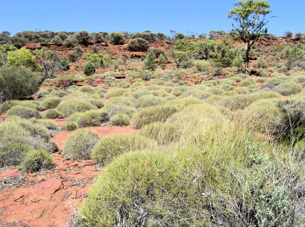 Soft Spinifex (Triodia pungens), Finke Gorge National Park