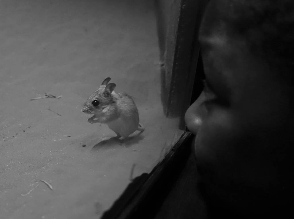 Spinifex Hopping Mouse (Notomys alexis), Nocturnal House, Alice Springs Desert Park