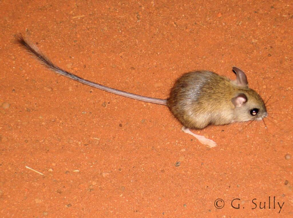 Spinifex Hopping Mouse (Notomys alexis)