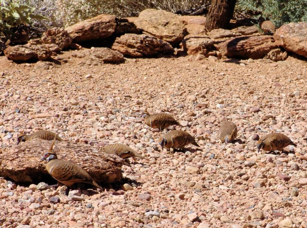 Spinifex Pigeons (Geophaps plumifera), Alice Springs Desert Park