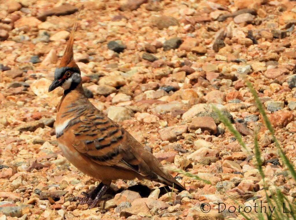 Spinifex Pigeon (Geophaps plumifera), Alice Springs Desert Park