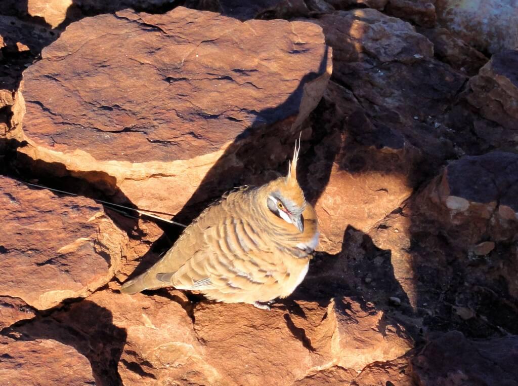 Spinifex Pigeon (Geophaps plumifera), Kata Tjuta (Uluru-Kata Tjuta National Park)