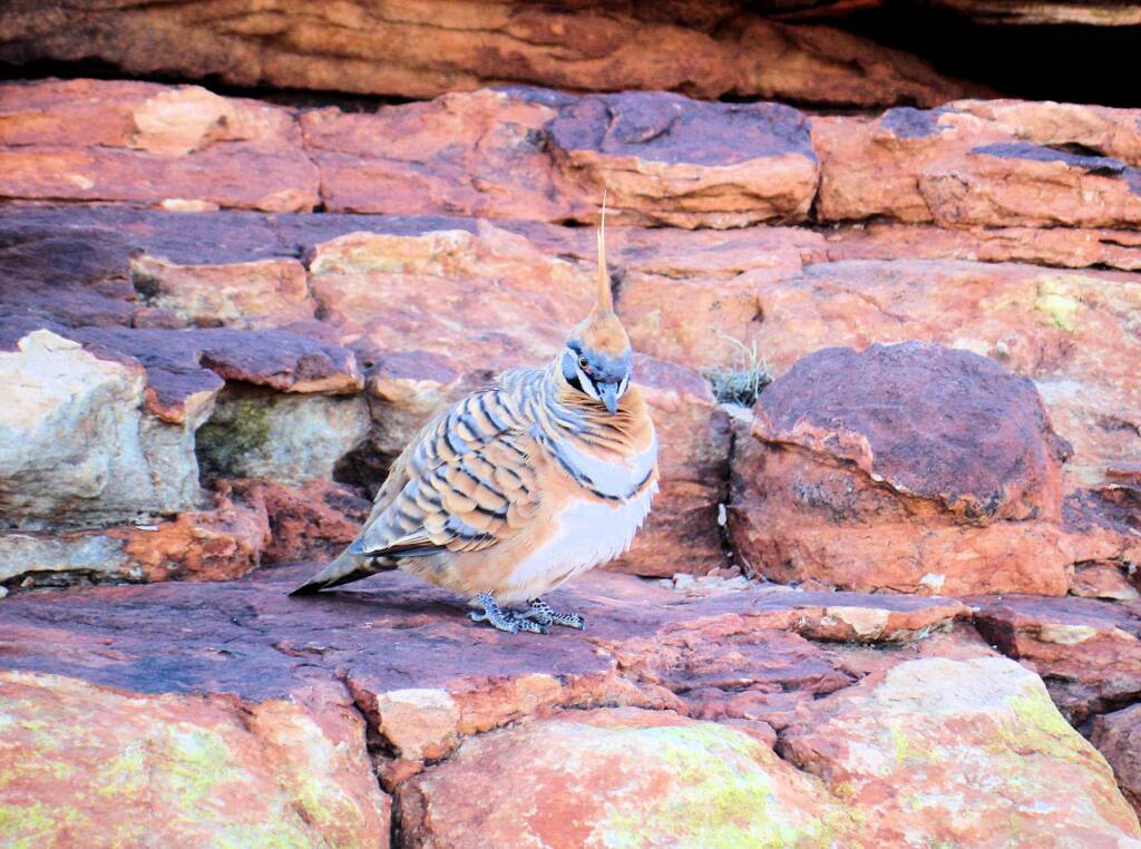 Spinifex Pigeon (Geophaps plumifera), Kings Canyon