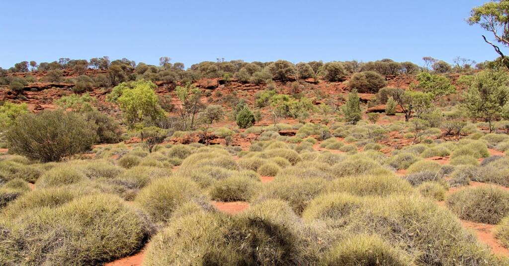 Commonly called Hummock Grass - Soft Spinifex (Triodia pungens), Finke Gorge National Park