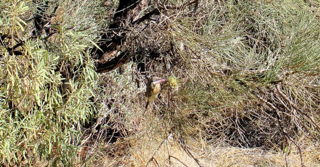 Spiny-cheeked Honeyeater (Acanthagenys rufogularis)