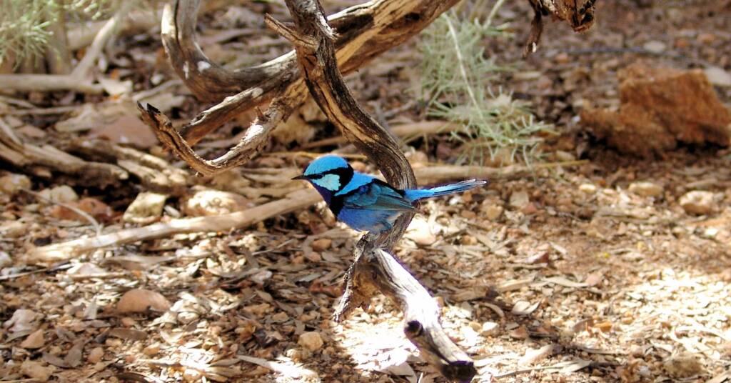 Splendid Fairy-wren (Malurus splendens), Alice Springs Desert Park