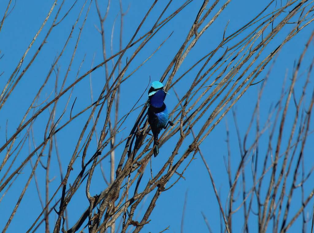 The male Splendid Fairy-wren (Malurus splendens), Owen Springs Reserve, NT