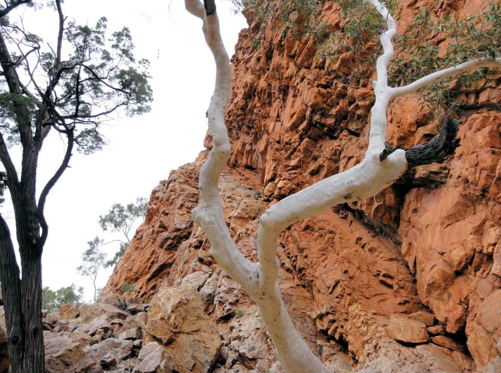 Spot the Black-footed Rock Wallaby, Ormiston Gorge
