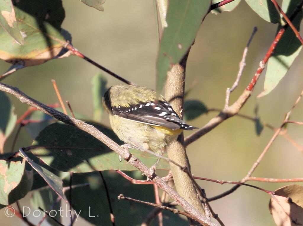 Spotted Pardalote (Pardalotus punctatus)