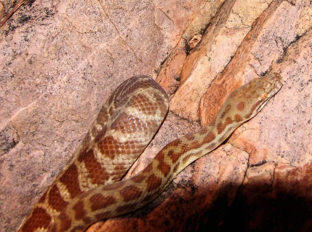 Stimson's Python (Antaresia stimsoni), Simpsons Gap