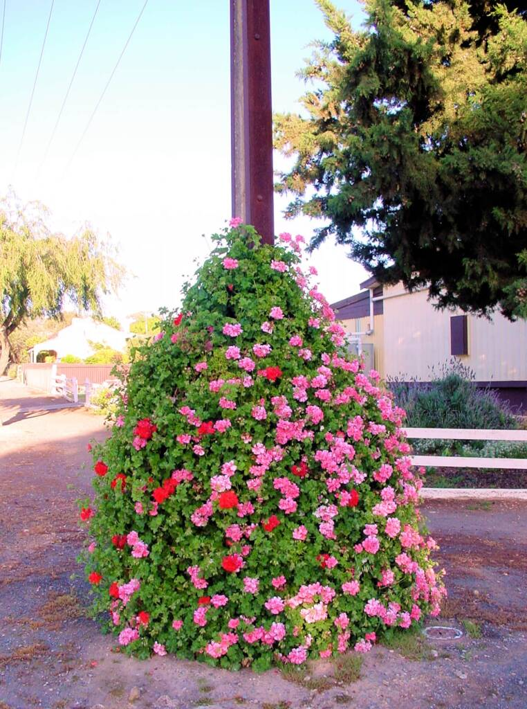 Flowering Stobie Pole, SA
