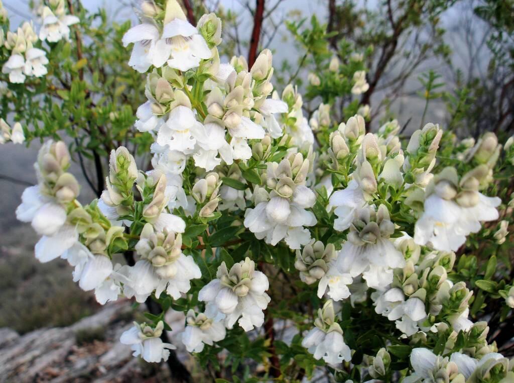 Striped Mintbush (Prostanthera striatiflora)