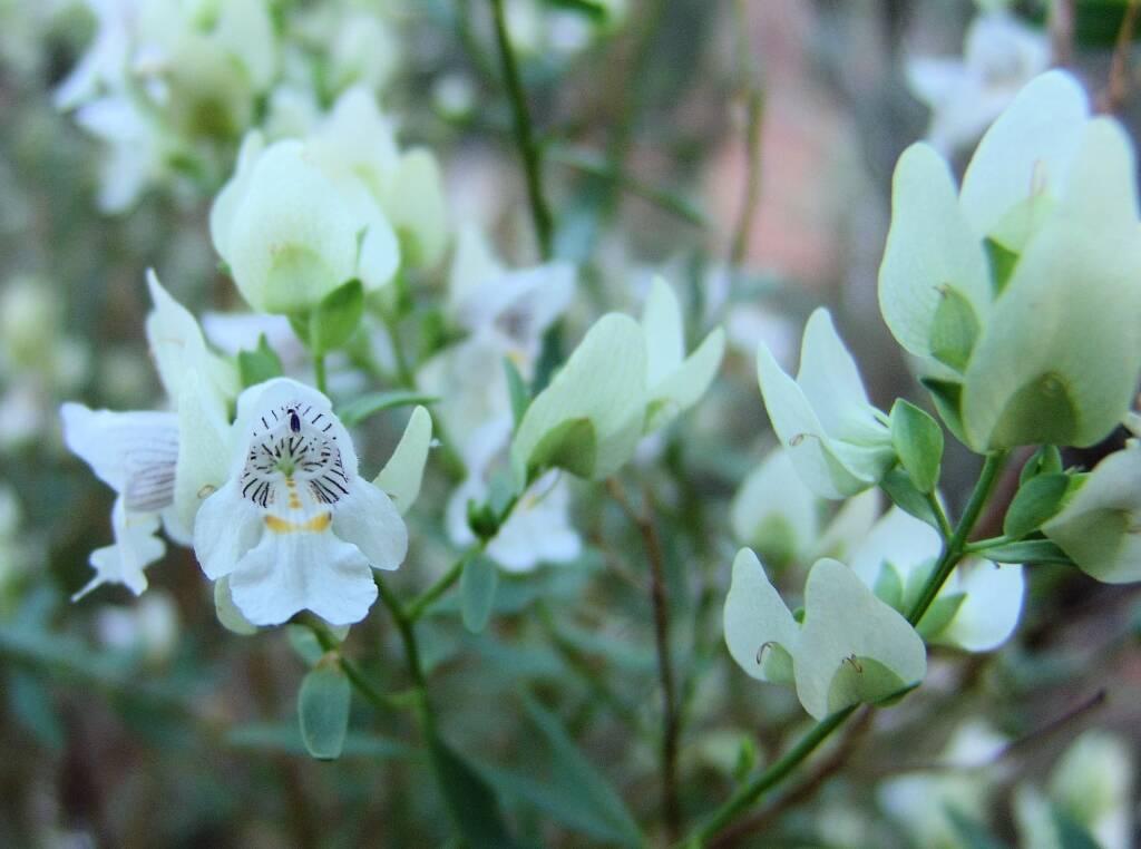Striped Mintbush (Prostanthera striatiflora), Kings Canyon