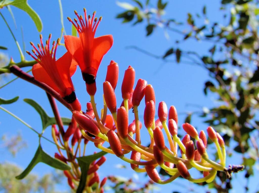 Sturt Bean Tree (Erythrina vespertilio), Olive Pink Botanic Garden.