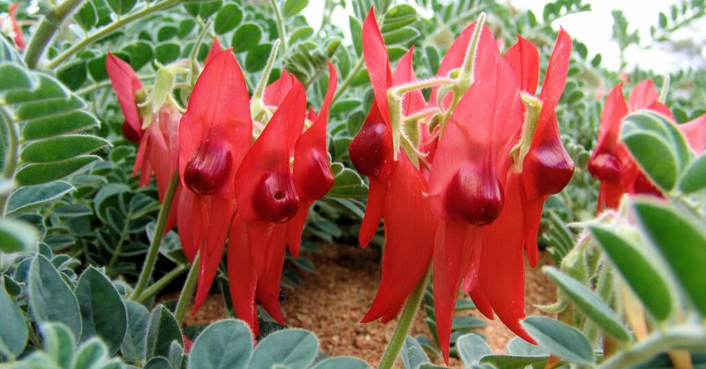 Sturt's Desert Pea (Swainsona formosa)