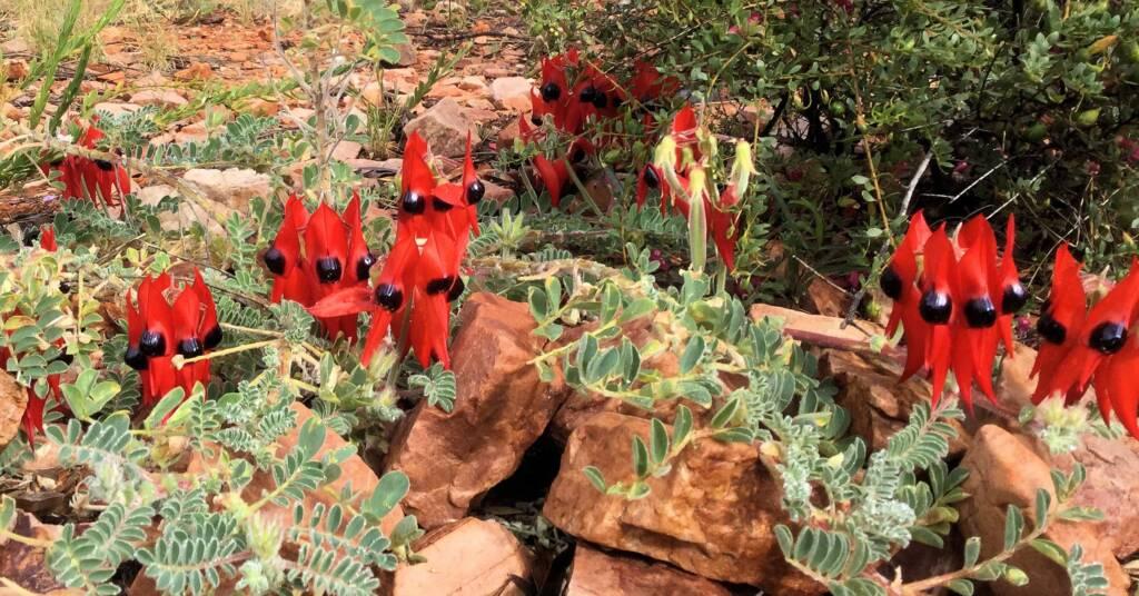 Sturt's Desert Pea, Alice Springs Desert Park