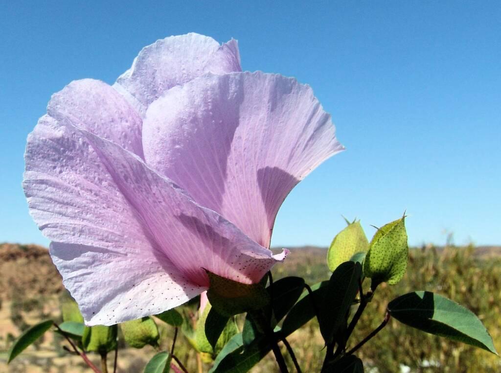 Sturt's Desert Rose (Gossypium sturtianum)