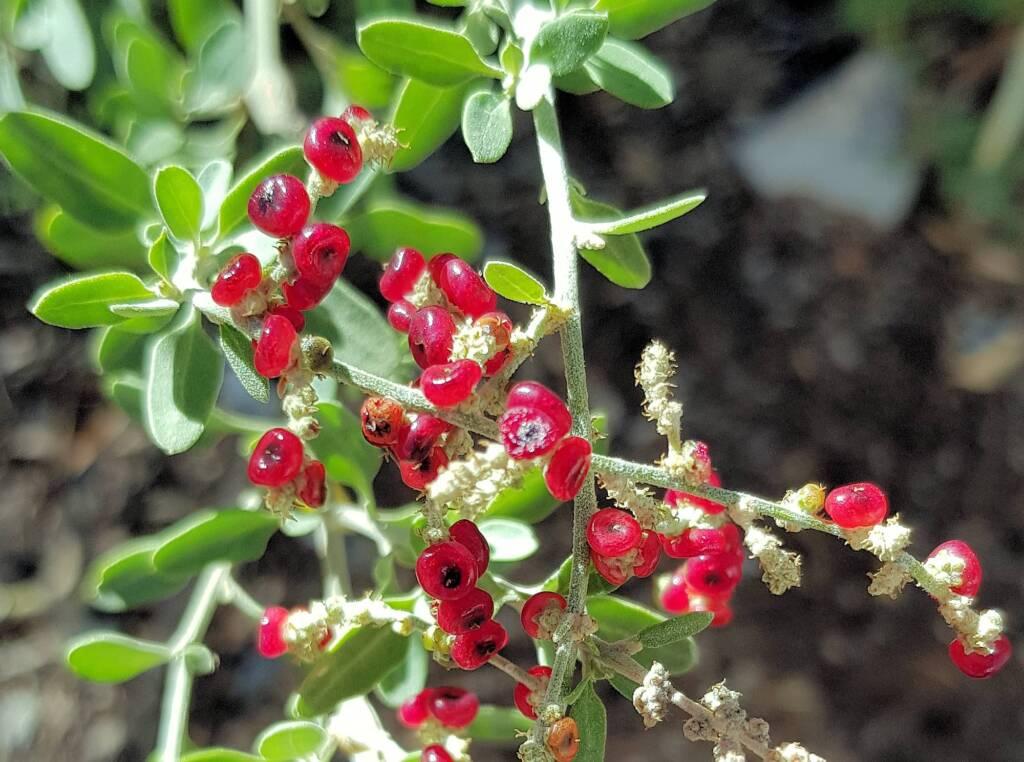 Tall Saltbush (Rhagodia eremaea)