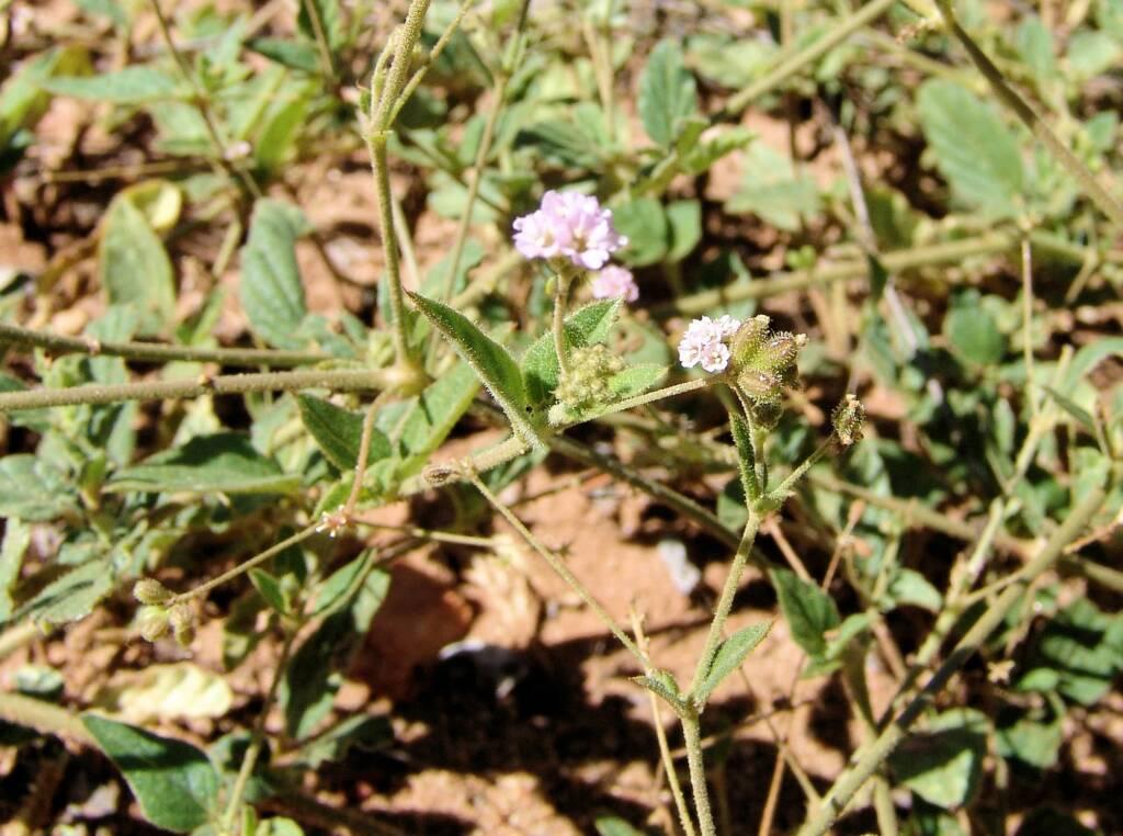 Tar Vine (Boerhavia coccinea)
