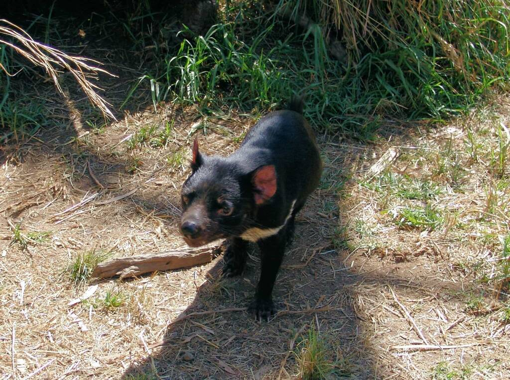 Tasmanian Devil, Kyabram Fauna Park, VIC