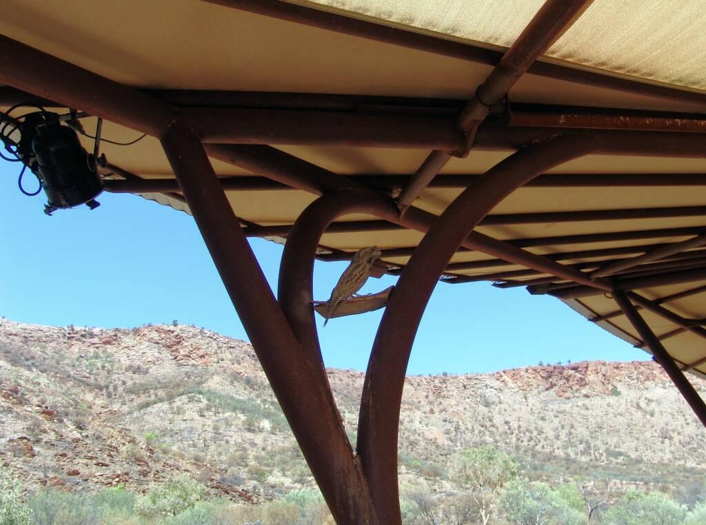 Tawny Frogmouth (Podargus strigoides), Alice Springs Desert Park