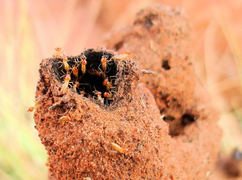 Termite mound, Kings Canyon