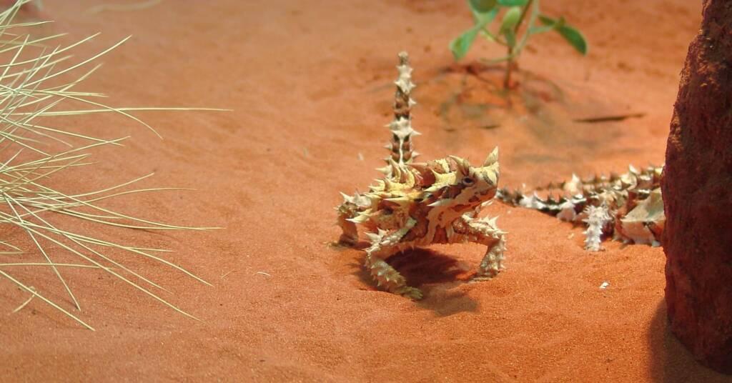Thorny Devil (Moloch horridus), Alice Springs Desert Park