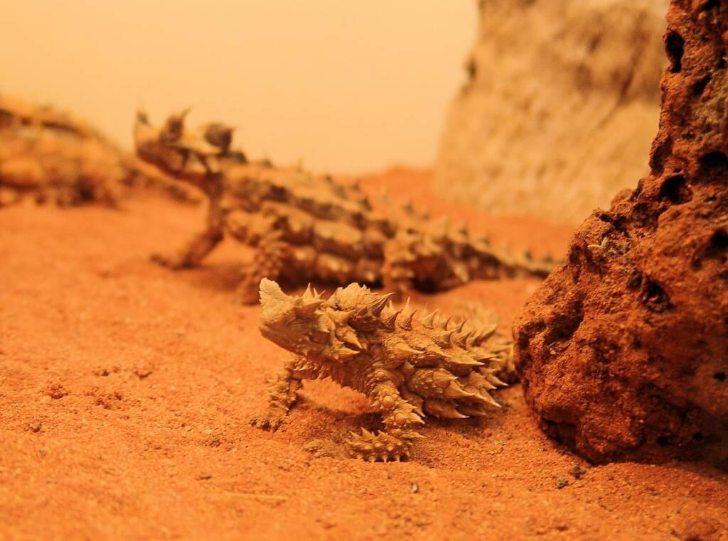 Thorny Devil (Moloch horridus), Alice Springs Reptile Centre
