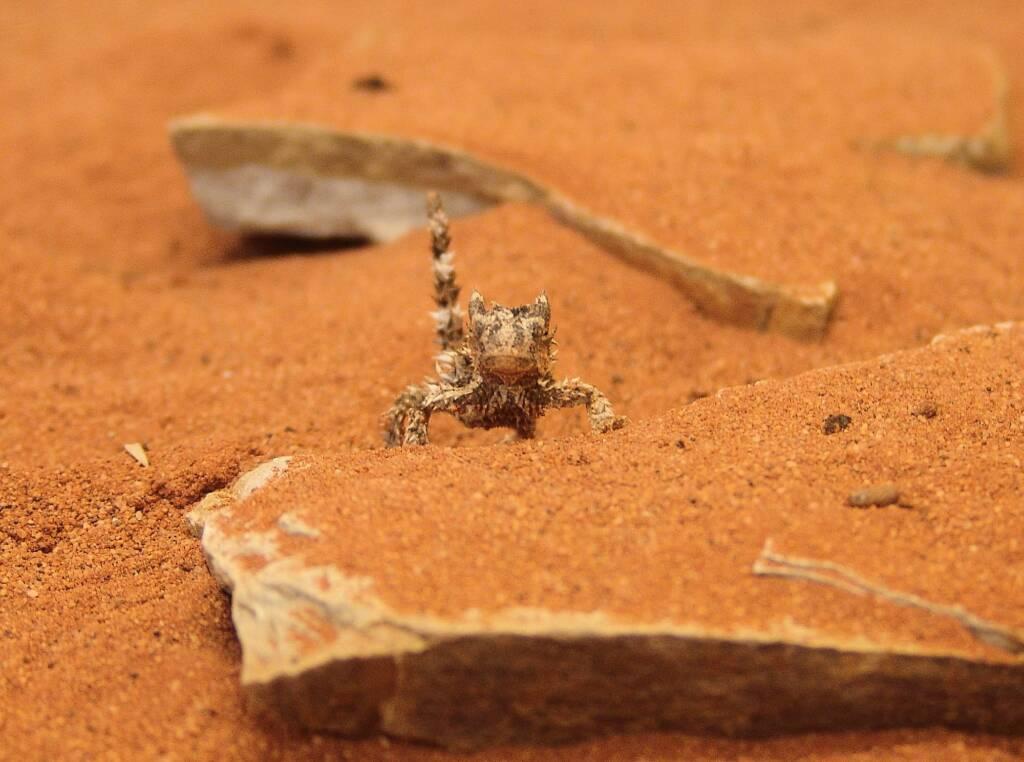 Juvenile Thorny Devil (Moloch horridus), Alice Springs Reptile Centre