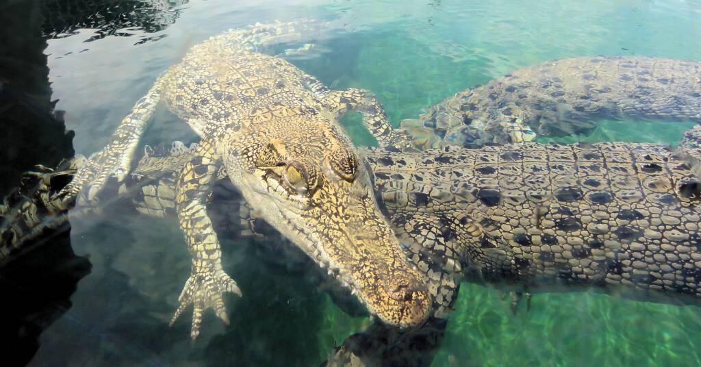 Crocodiles, Darwin, NT