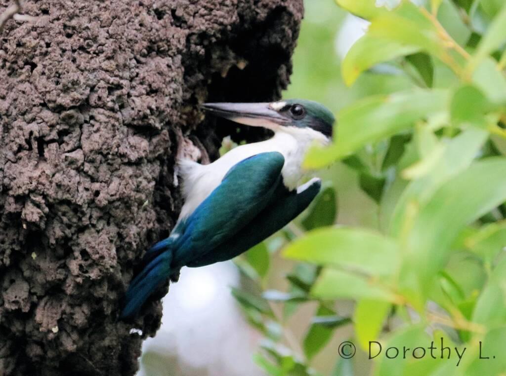 Torresian Kingfisher (Todiramphus sordidus) © Dorothy L