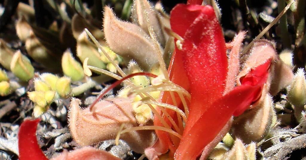 Upside-down Plant (Leptosema chambersii)