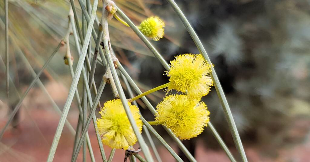 Waddy-wood (Acacia peuce), Alice Springs Desert Park