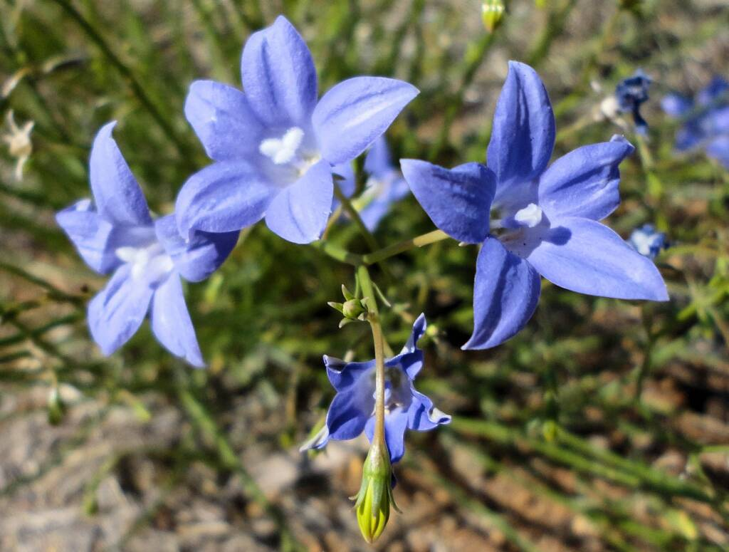 Australian Bluebell (Wahlenbergia gracilis), Alice Springs, NT