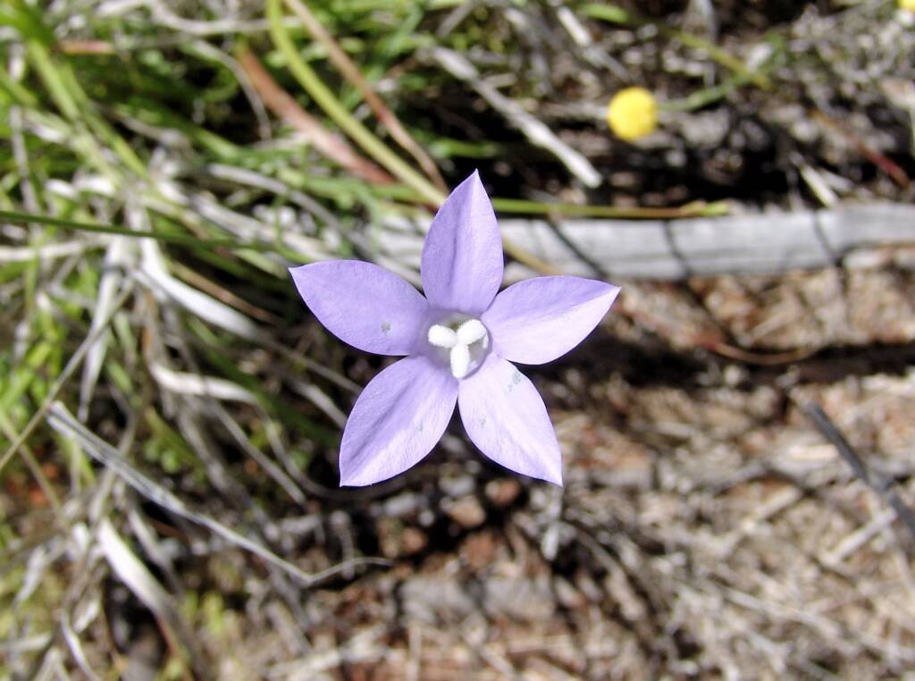 Australian Bluebell (Wahlenbergia gracilis), Ilparpa Claypans