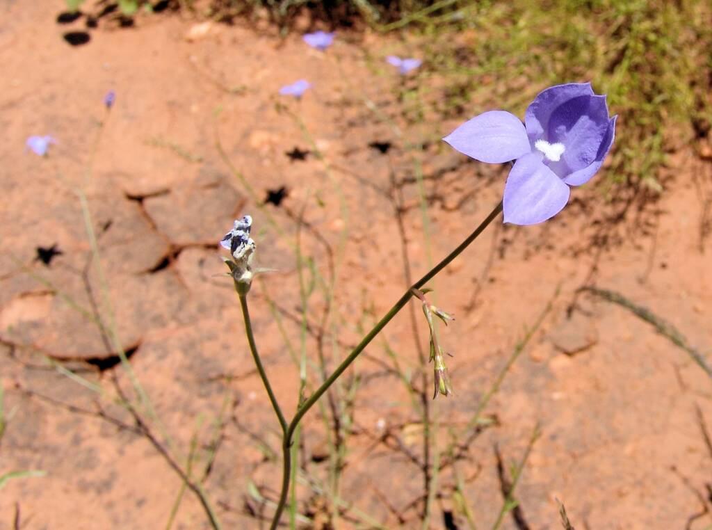 Australian Bluebell (Wahlenbergia gracilis), Tanami Road