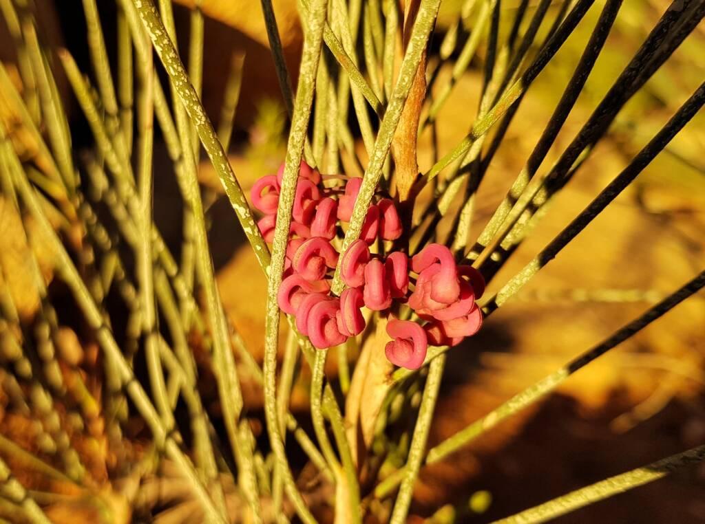Walukara (Hakea rhombales)