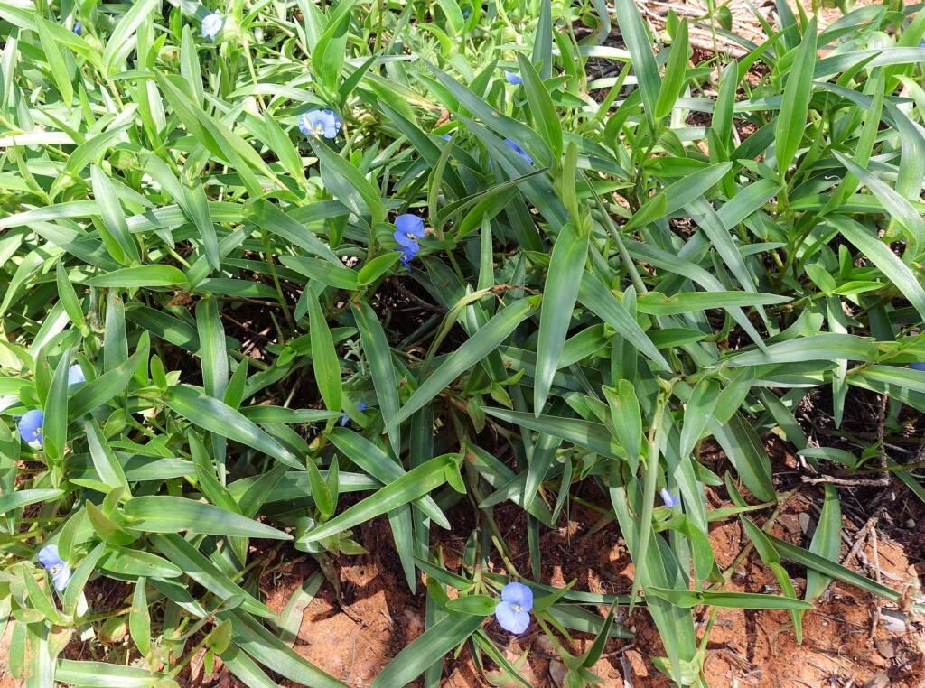 Wandering Jew (Commelina ensifolia), Ormiston Gorge