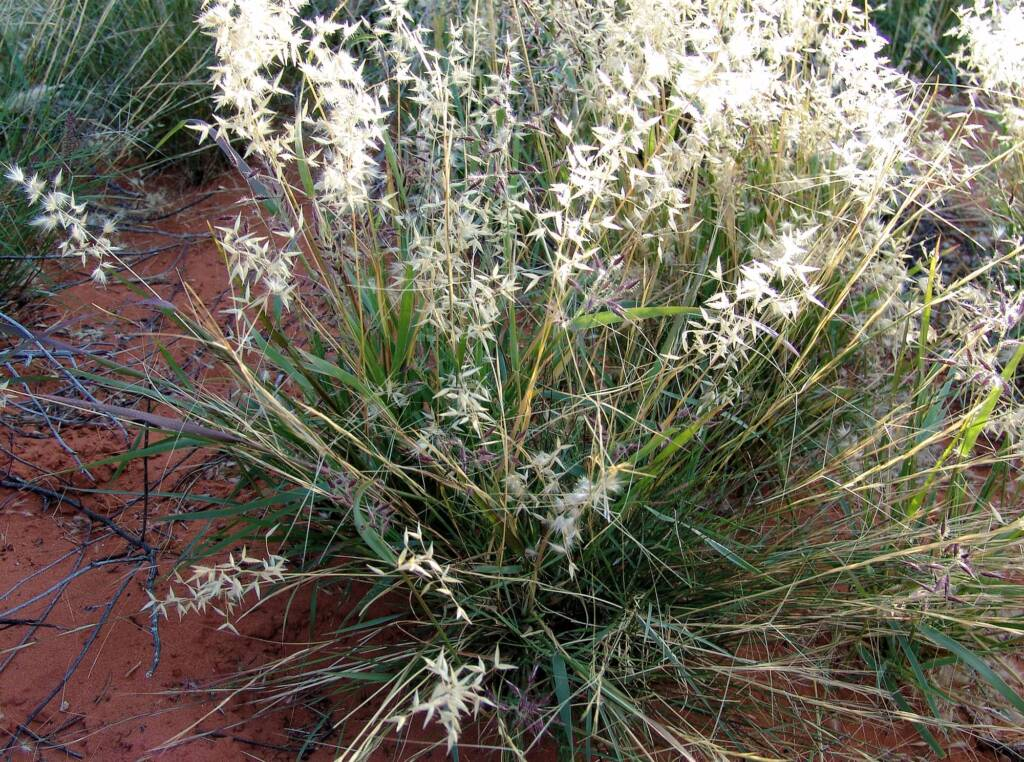 Wanderrie Grass (Eriachne sp)