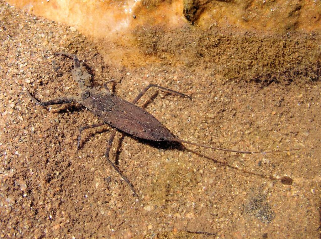 Water Scorpion (Laccotrephes tristis), Simpsons Gap