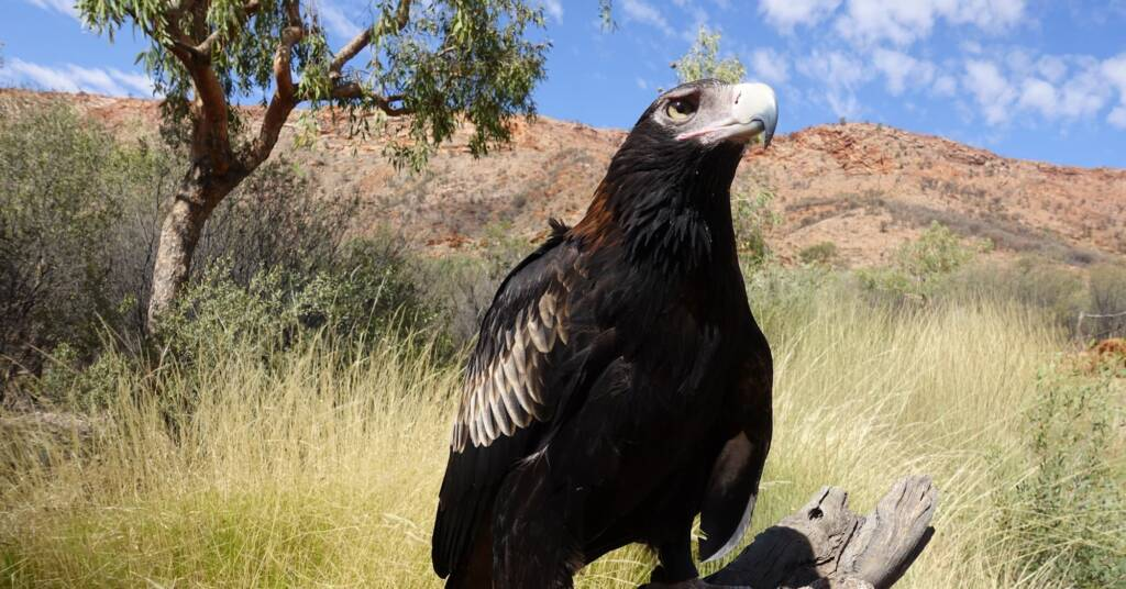 Wedge-tail Eagle (Aquila audax) - Birds of Prey Show, Alice Springs Desert Park